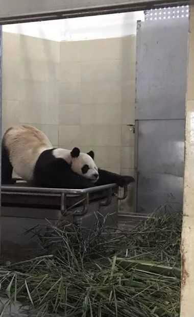 """动物界的""""翘屁嫩男"""" 国宝大熊猫翘屁勾魂姿势撩人"""