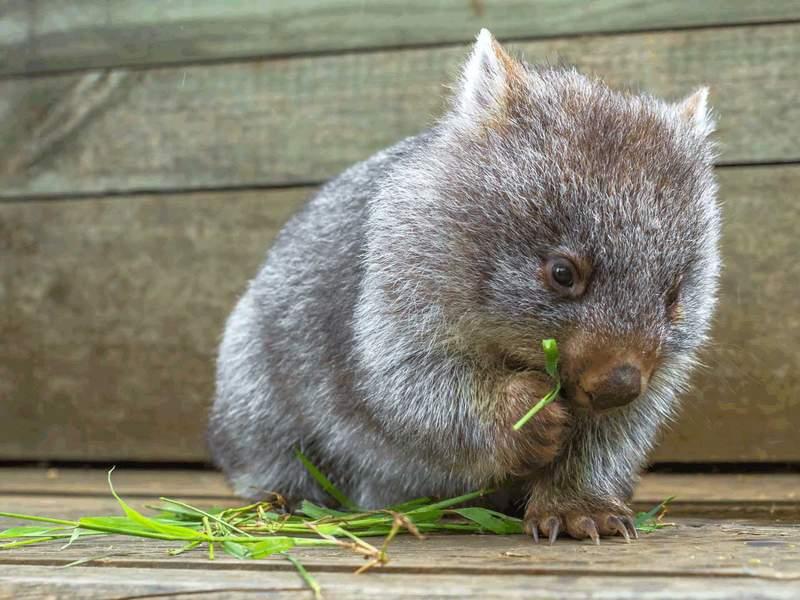 袋熊的便便为什么是立方体 全球唯一把便便拉成立方体的奇妙动物